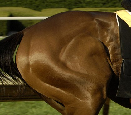 Equine Muscle